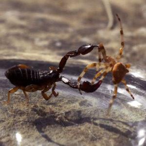 Scorpion et araignée